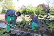 Mitarbeiter vom Stadthof pflanzen die Schattenastern genau nach Plan.