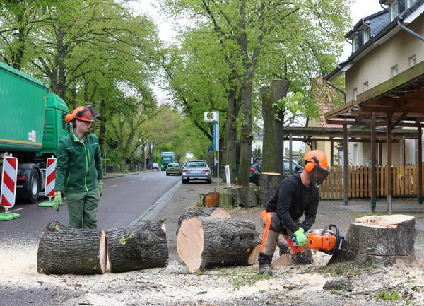 In Vorbereitung auf den Ausbau wurden im April drei Bäume mit starken Vitalitätsmängeln gefällt