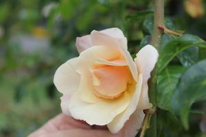 Rose Haldensleben