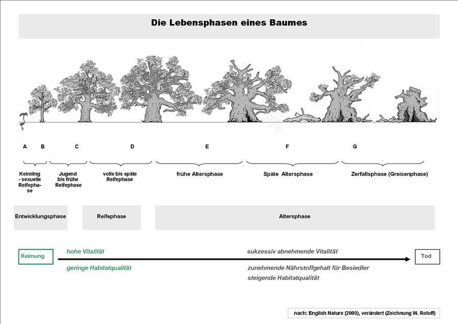 Die Lebensphasen eines Baumes - nach English Nature (2000), Naturschutz und Denkmalpflege in historischen Parkanlagen